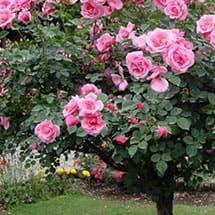 Каталог - розы