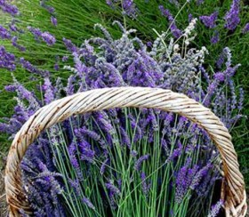 100-369-lavanda-myunsted