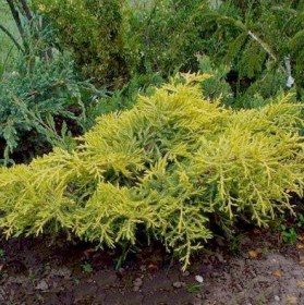 900-051-juniperus-golden-saucer
