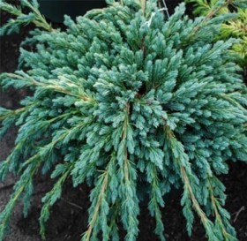 900-054-juniperus-blue-spider